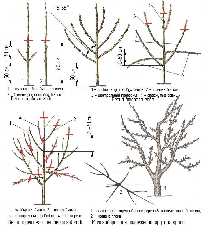 Прореживание молодых деревьев