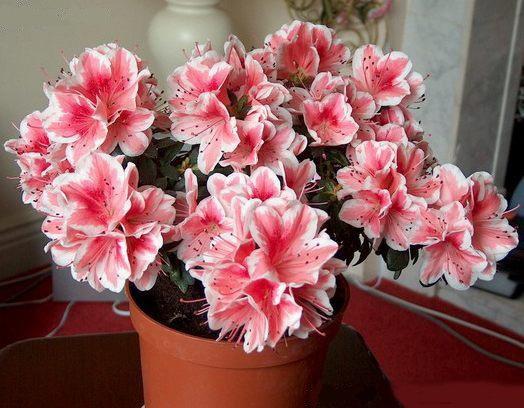 Выращивание азалии в домашних условиях